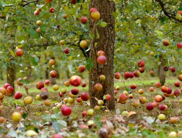 Сочные плоды в саду