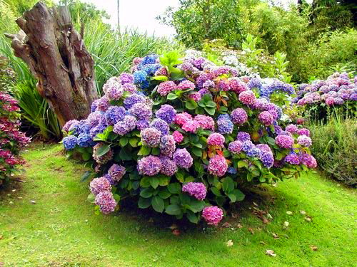 гортензия - цветущий кустарник средний