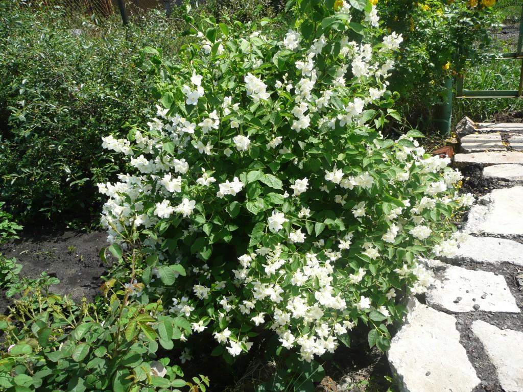 цветущий кустарник жасмин фото
