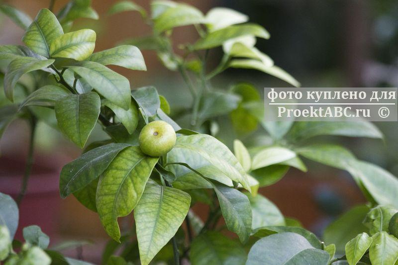 неспелые плоды каламондина