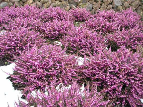 декоративная  эрика травяная - низкорослый морозостойкий цветущий кустарник фото