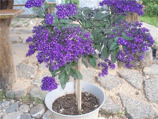 Цветок гелиотроп выращивание из семян, фото, уход и 66