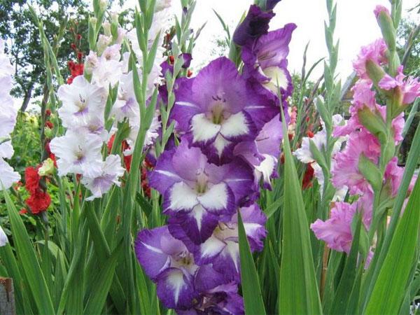 цветы гладиолусы посадка и уход видео