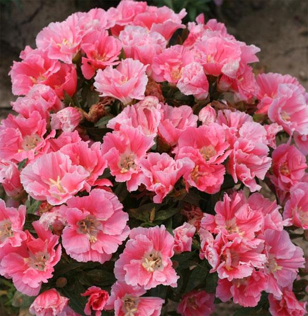 годеция азалиецветковая выращивание и уход фото