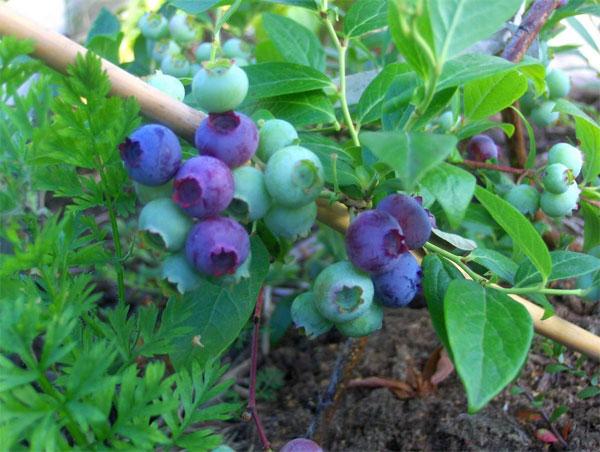 Особенности посадки голубики садовой