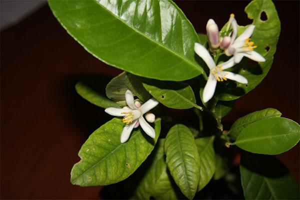 Цветение каламондина