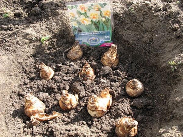 Выращивание нарцисса в открытом грунте 833