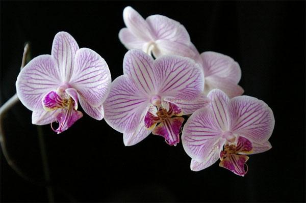 Цветы орхидеи: как ухаживать: http://proektabc.ru/dizayn-komnaty/cvety/895-tsvety-orkhidei-kak-ukhazhivat.html