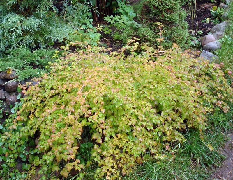 Стефандра - низкий морозостойкий цветущий кустарник