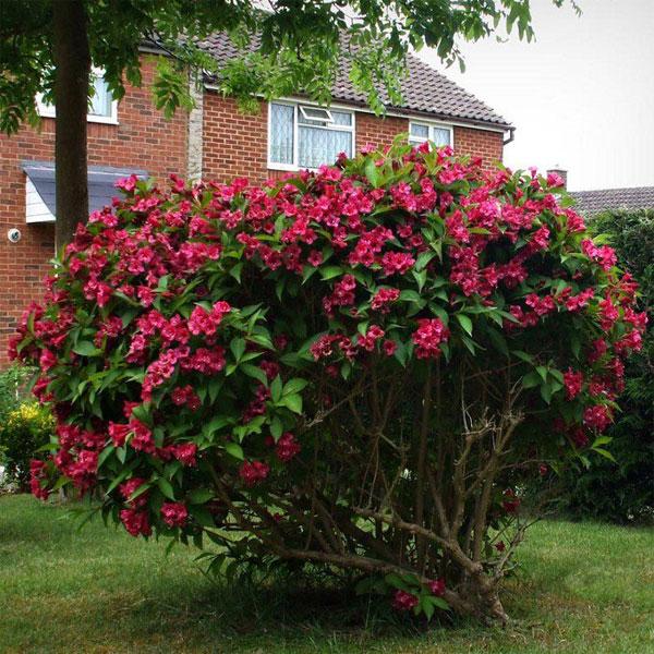 вейгела - большой цветущий кустарник фото