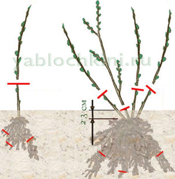 Обрезание йошты в рамках ухода за растением