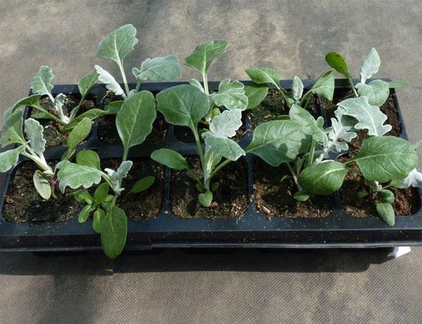 Выращивание цинерарии серебристой из семян 100