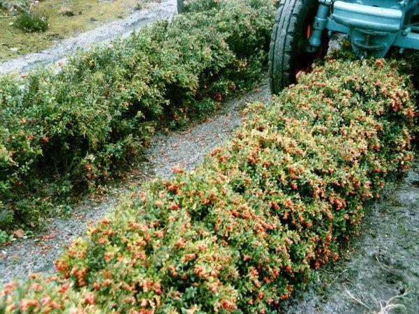 брусника - низкорослый кустарник фото