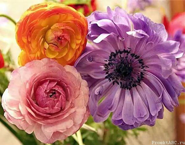 Цветки ранункулюса