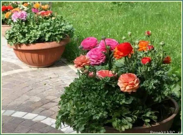 Ранункулюс на клумбах в саду
