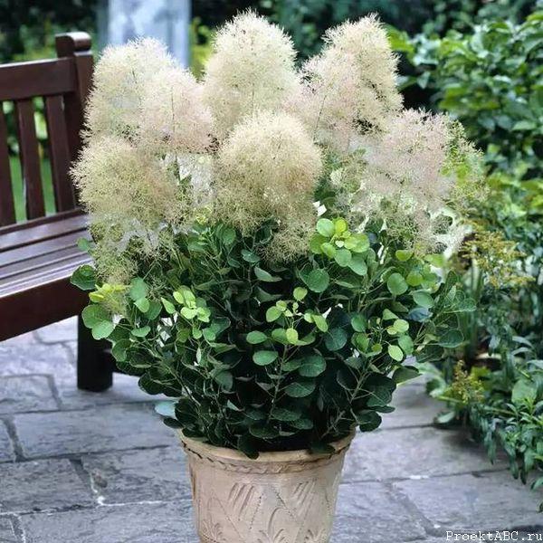 Декоративное деревце скумпии