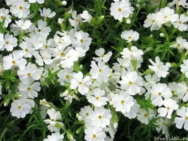 Цветы флокса шиловидного