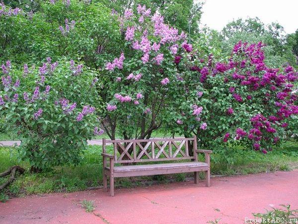 цветущий кустарник - сирень