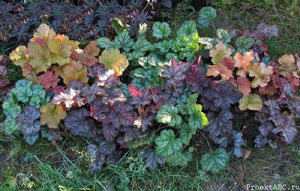 Окраска листьев гейхеры