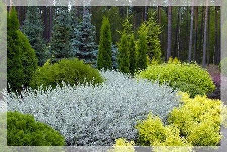 ива ползучая - низкорослый морозоустойчивый кустарник