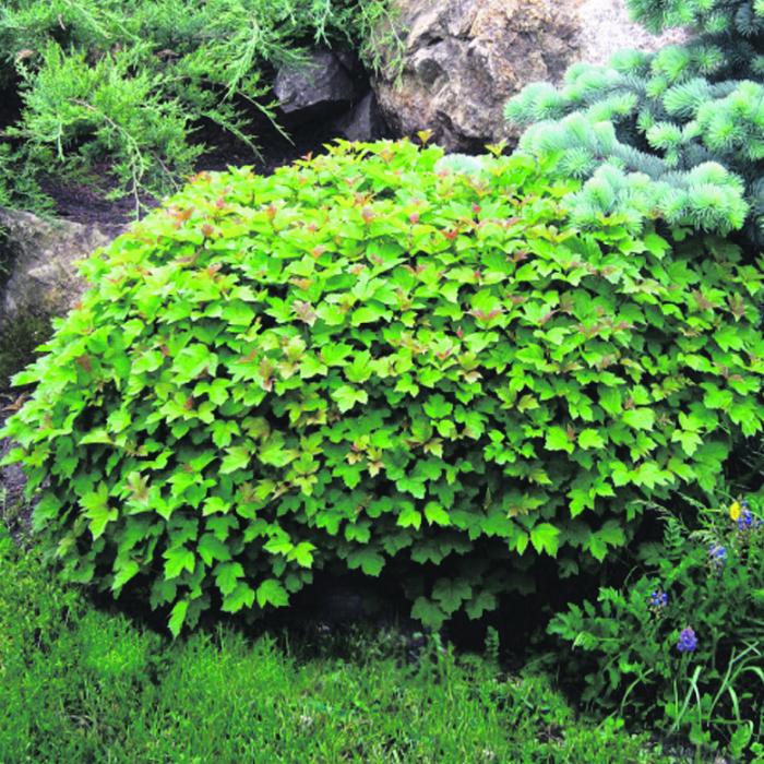 декоративная калина нанум - карликовый морозостойкий кустарник фото