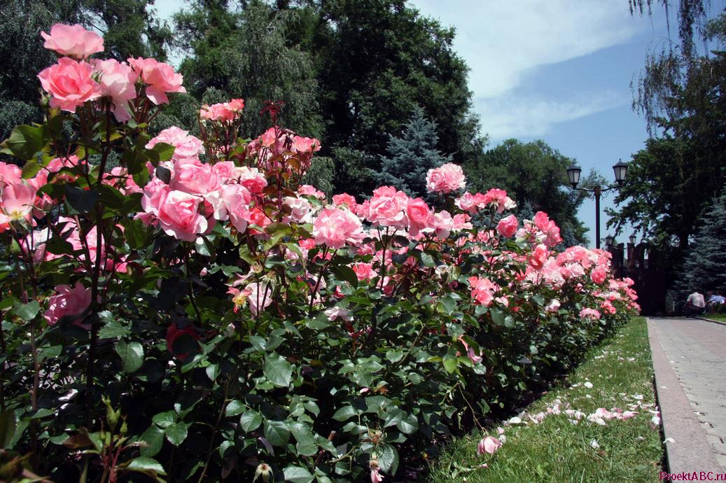 парковые розы - цветущий кустарник фото