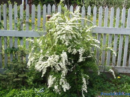 декоративная спирея японская - низкий зимоустоучивый кустарник фото