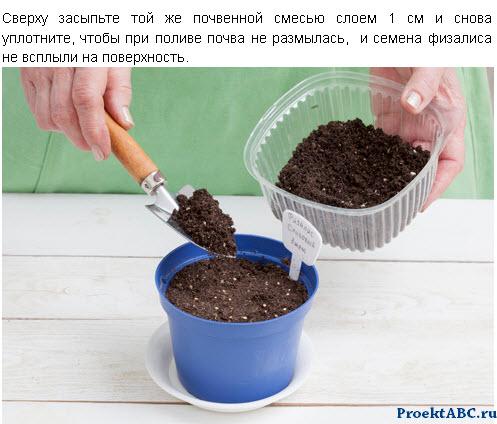 как вырастить флизалис из семян - фото