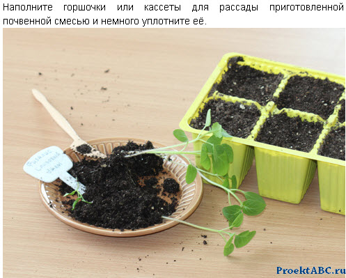 7 шагов выращивание флизалиса из семян