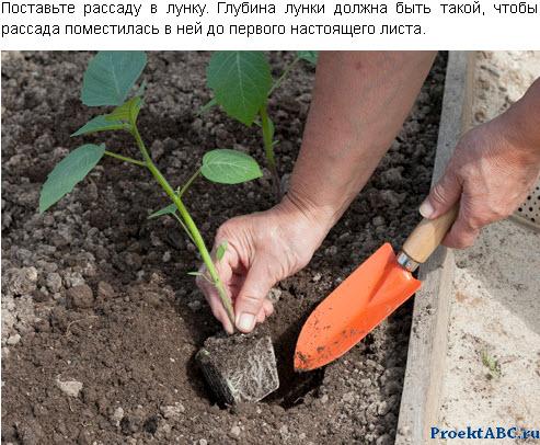 выращивание флизалиса из семян