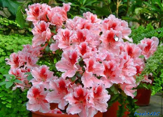 Ухаживать за нею поливая цветы