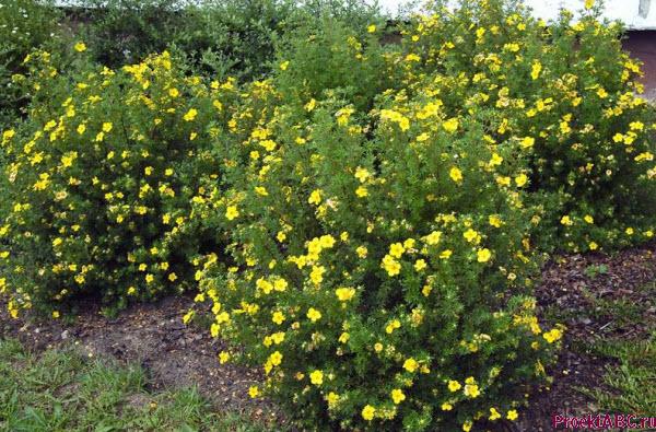 лапчатка кустарниковая низкий цветущий кустарник