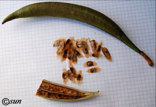 семенама кампсиса и стручек фото