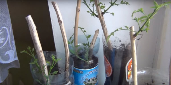 размножение кампсиса черенкованием
