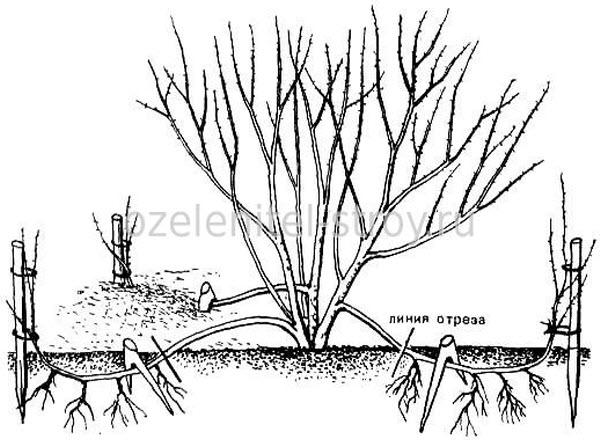 размножение кампсиса отводками