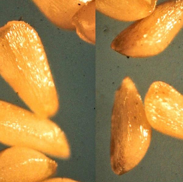 семена дербенника фото