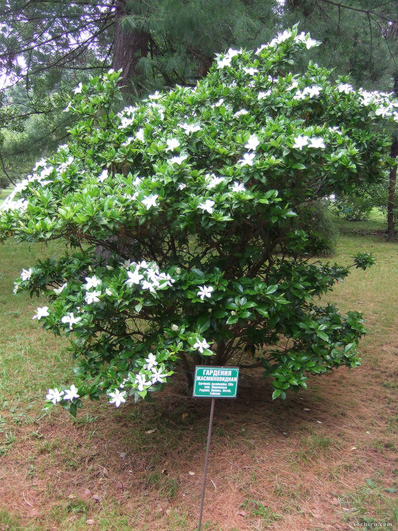 гардения - цветущий кустарник фото