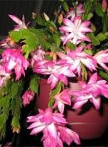 Цветок декабрист как ухаживать