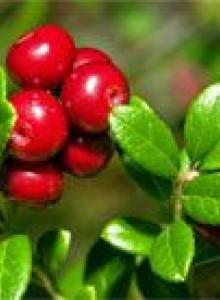 Брусника садовая - посадка и уход