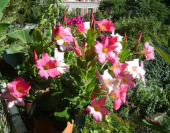 Дипладения выращивание и уход