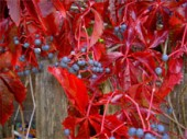 Девичий виноград - посадка и уход