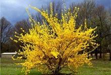 Форзиция - цветущий кустарник фото