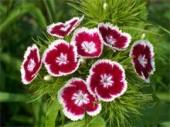 Гвоздика турецкая выращивание из семян