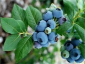 Голубика садовая – посадка и уход