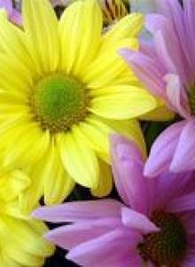 Хризантема: посадка и уход