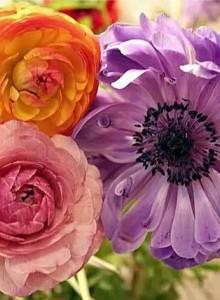 Ранункулюс - посадка и уход в домашних условиях и в саду