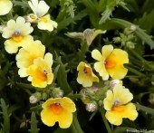 Немезия - выращивание из семян