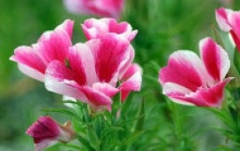 Кларкия - выращивание из семян