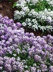 Лобулярия - выращивание из семян