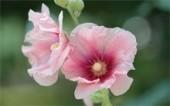 Мальва: выращивание из семян